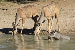 Antílope de Kudu e um javali africano - animais selvagens africanos - olhar fixo da vaca Fotografia de Stock