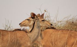 Antílope de Kudu - ilusão da vaca two-headed Imagem de Stock