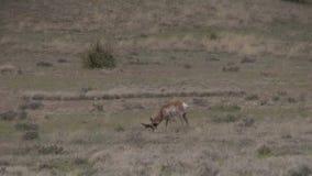 Antílope de Pronghorn Buck Walking metrajes