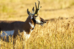 Antílope de Pronghorn em Lamar Valley Imagens de Stock Royalty Free