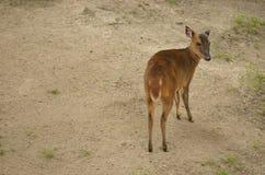 Antílope de Sitatunga Fotos de Stock Royalty Free