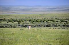 Antílope de Wyoming fotografía de archivo