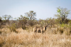Antílope del agua, parque nacional de Kruger Imagen de archivo libre de regalías