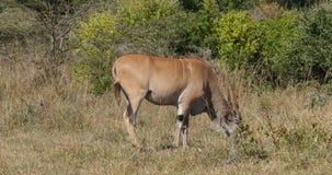 Antílope del cabo, oryx del taurotragus, adulto en la sabana, parque de Nairobi en el tiempo real de Kenia almacen de metraje de vídeo