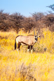 Antílope del Gemsbok o del gemsbuck, gacela del Oryx, colocándose en la sabana del desierto de Kalahari, Namibia, África Imagen de archivo