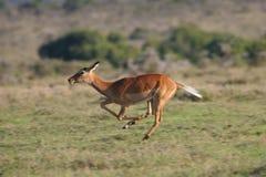 Antílope del impala Fotografía de archivo libre de regalías