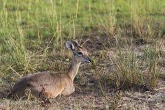 Antílope del impala en el parque nacional Safari Reserve en Uganda - la perla de las cataratas Murchison de África foto de archivo libre de regalías