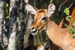 Antílope del impala que come una hoja Imágenes de archivo libres de regalías
