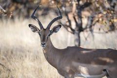 Antílope del impala y x28; Melampus& x29 del Aepyceros; Colocación en un campo herboso Foto de archivo