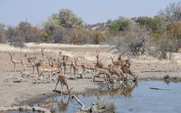 Antílope del impala y x28; Melampus& x29 del Aepyceros; Manada en un agujero de agua Foto de archivo