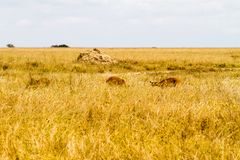 Antílope del melampus del Aepyceros del impala en el parque nacional de Serengeti Fotos de archivo libres de regalías