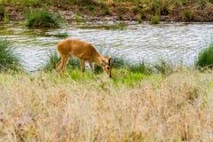 Antílope del melampus del Aepyceros del impala en Serengeti Imagen de archivo libre de regalías