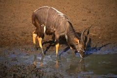 Antílope del Nyala Foto de archivo libre de regalías
