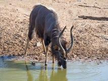 Antílope del Nyala que bebe en el waterhole imagen de archivo