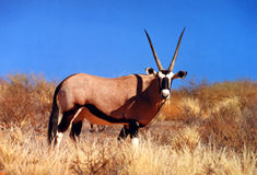 Antílope del Oryx imagen de archivo