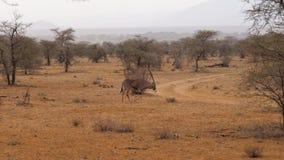 Antílope del Oryx que pasta con la hierba seca en la estación secada en la reserva africana almacen de video