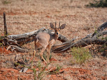 Antílope del Steenbok Fotos de archivo