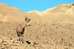 Antílope do deserto imagem de stock