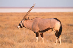 Antílope do Gemsbok Imagem de Stock Royalty Free