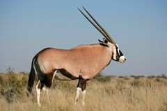 Antílope do Gemsbok Fotografia de Stock