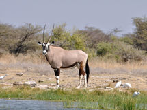Antílope do Gemsbok (gazella do Oryx) Foto de Stock