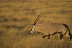 Antílope do Oryx, África foto de stock royalty free