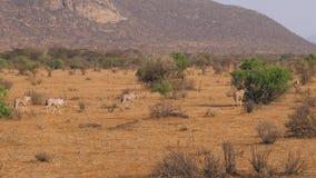 Antílope do Oryx que corre e que pasta no savana africano filme