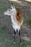 Antílope en el parque zoológico Un animal africano cerrado en una jaula fotos de archivo