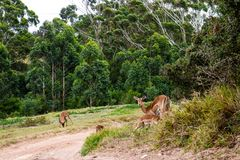 Antílope fêmea do Duiker que alimenta sua vitela fotografia de stock royalty free