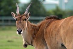 Antílope fêmea do gnu fotos de stock