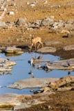 Antílope femenino del steenbok en el waterhole por la mañana Fotografía de archivo