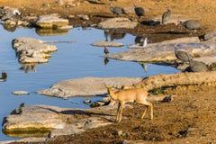 Antílope femenino del steenbok en el waterhole por la mañana Imagen de archivo libre de regalías