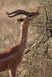 Antílope giraffe-necked de Gerenuk, Kenya imagens de stock