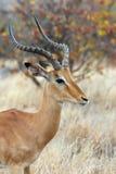 Antílope masculino del impala Fotografía de archivo