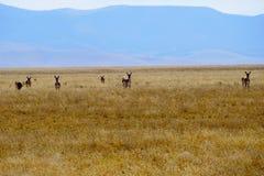 Antílope nas planícies douradas de New mexico Imagem de Stock