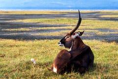 Antílope no savana fotografia de stock royalty free