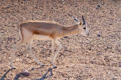 Antílope novo em um parque do safari na ilha de Sir Bani Yas, Emiratos Árabes Unidos fotografia de stock royalty free