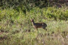 Antílope pequeno de Dik-Dik no Serengeti Imagem de Stock