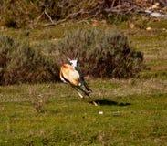Antílope que corre em Kruger Foto de Stock