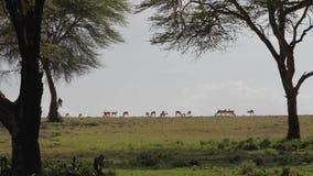 Antílope que pasta en un prado verde o la sabana africana a los árboles del acacia almacen de video