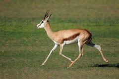 Antílope running da gazela imagem de stock royalty free