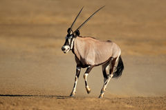 Antílope running do gemsbok Imagem de Stock