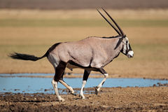 Antílope running do gemsbok Imagens de Stock