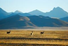 Antílope tibetano Foto de archivo libre de regalías