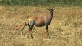 Antílope y bebé del Topi en masai Mara, Kenia metrajes