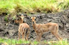 Antílopes africanos imagens de stock