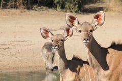 Antílopes da vitela de Kudu e um javali africano - animais selvagens africanos - olhar fixo da vaca Imagem de Stock