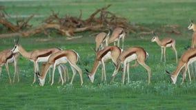 Antílopes de alimentação da gazela video estoque