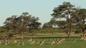 Antílopes de alimentação da gazela vídeos de arquivo