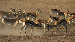 Antílopes de combate da gazela vídeos de arquivo